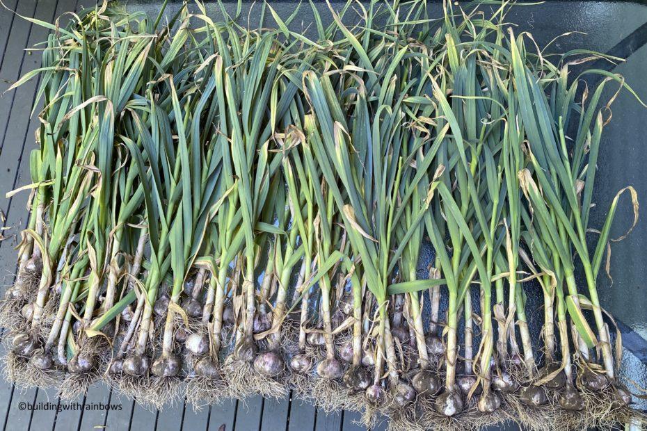 freshly harvested hard neck garlic